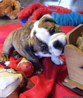 English Bulldog Puppies Available AKC Reg's