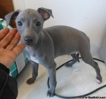 Italian Greyhound puppies for sale Text:(540)x268x0083