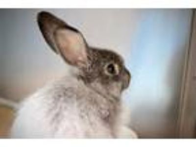 Adopt HONEY a Grey/Silver Angora, English / Mixed rabbit in Boston