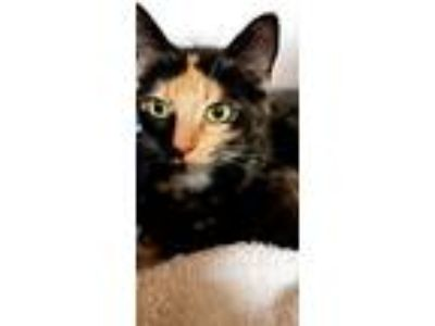 Adopt Lauren a Tortoiseshell Domestic Shorthair (short coat) cat in Rogersville
