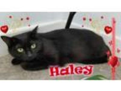 Adopt Haley a Domestic Short Hair