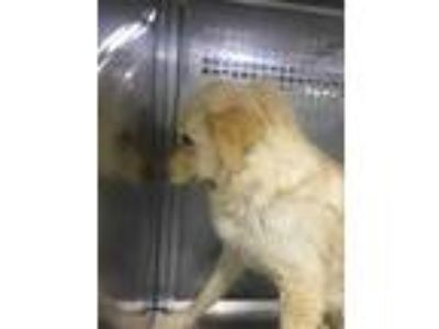 Adopt 41712174 a Tan/Yellow/Fawn Golden Retriever / Mixed dog in Fort Worth
