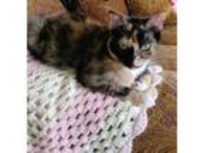 Adopt Rosie a Calico or Dilute Calico Calico (short coat) cat in New Port