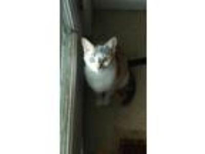 Adopt Chloe a Calico or Dilute Calico American Shorthair / Mixed cat in