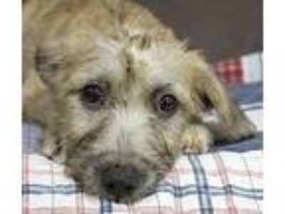 Adopt Special Sprite a Terrier, Poodle