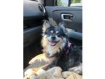Adopt Minnie a Tricolor (Tan/Brown & Black & White) Pomeranian / Mixed dog in