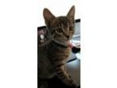Adopt Phoebe a Domestic Short Hair, Tabby