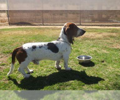 Basset Hound PUPPY FOR SALE ADN-123549 - Male Basset Hound For Sale