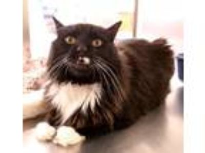 Adopt Jake a Black & White or Tuxedo Domestic Longhair / Mixed cat in Salem