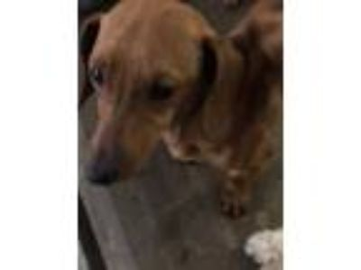 Adopt Mordrid a Brown/Chocolate Dachshund / Mixed dog in Edinburg, TX (25237309)