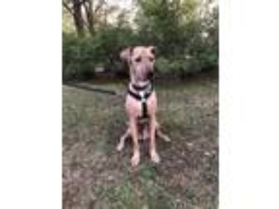 Adopt Luke Skywalker a Tan/Yellow/Fawn Labrador Retriever / Mixed dog in Hazel