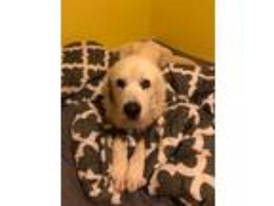 Adopt Mae *Senior* a White Great Pyrenees / Mixed dog in Southbury
