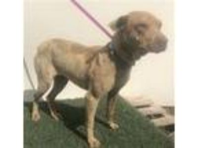 Adopt A204554 a Shar-Pei, Mixed Breed