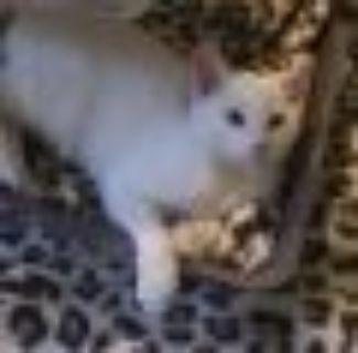 Rain Domestic Short Hair Cat