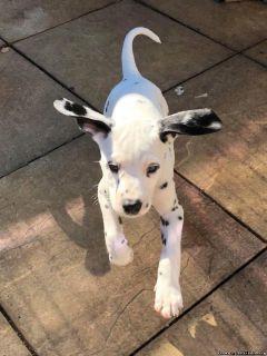 Stunning Dalmatian Puppies AKc Reg, Baer ready