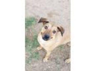 Adopt Meggy a Red/Golden/Orange/Chestnut Labrador Retriever / Shepherd (Unknown
