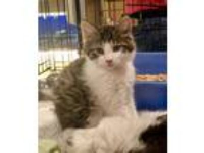 Adopt Rylan a White (Mostly) Domestic Longhair (long coat) cat in Springfield