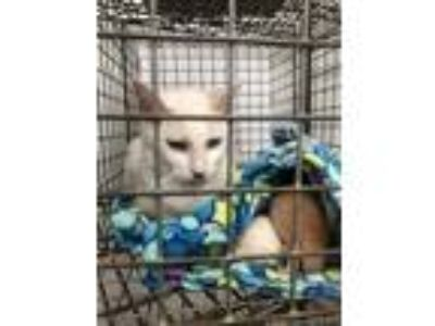 Adopt Wendell a White Domestic Shorthair / Domestic Shorthair / Mixed cat in