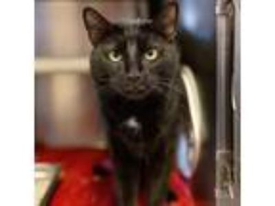 Adopt Jude a All Black Domestic Shorthair / Domestic Shorthair / Mixed cat in