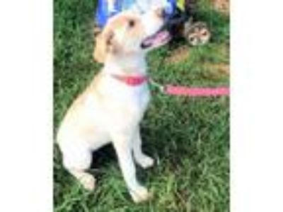 Adopt Sandy a Yellow Labrador Retriever
