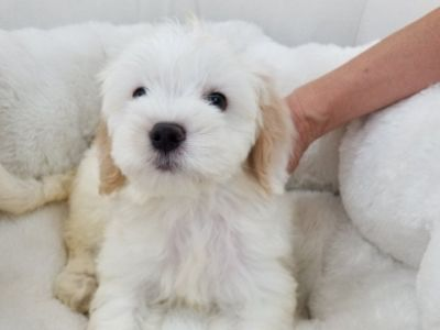 Maltipoo/Cocker Puppy- Male- Norman ($1,100)
