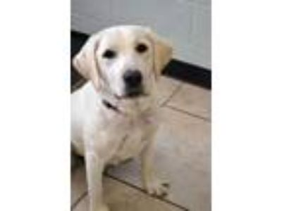 Adopt Peggy a Labrador Retriever