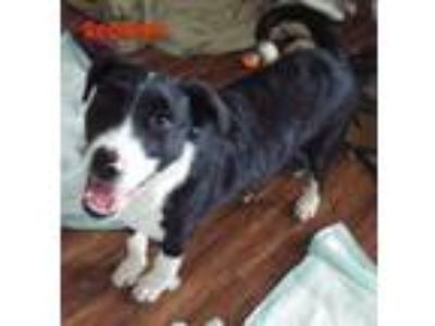 Adopt Scooter a Border Collie
