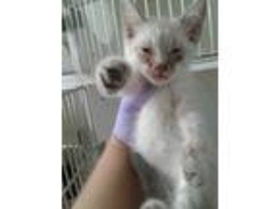 Adopt 41968611 a White Domestic Shorthair / Domestic Shorthair / Mixed cat in