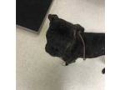 Adopt Phineas a Brindle Mixed Breed (Large) / Mixed dog in Myrtle Beach