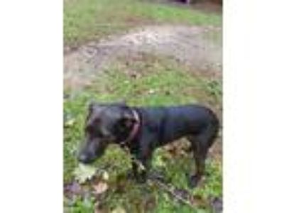 Adopt Princess a Black Labrador Retriever / American Pit Bull Terrier / Mixed