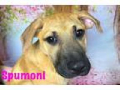 Adopt Spumoni a German Shepherd Dog