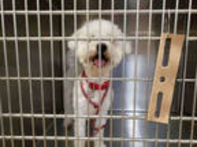 Adopt MARLEY a White Bichon Frise / Mixed dog in Olivette, MO (25235873)