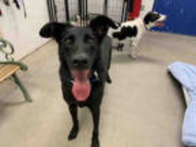 Adopt BEN a Black - with White German Shepherd Dog / Labrador Retriever / Mixed
