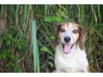 Adopt Bucky a Brown/Chocolate Beagle / Mixed dog in Clearwater, FL (25328700)