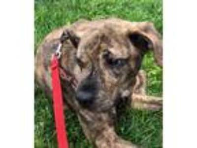 Adopt JoJo a Brindle - with White Whippet / Beagle / Mixed dog in Bowie