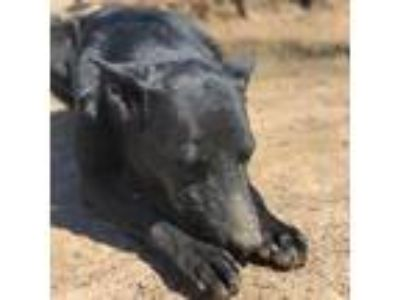 Adopt Dixie a Black Labrador Retriever / German Shepherd Dog dog in Kaufman