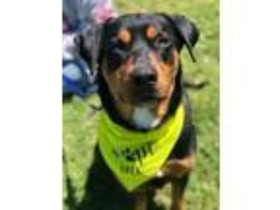 Adopt Oso a Black - with Brown, Red, Golden, Orange or Chestnut Rottweiler /