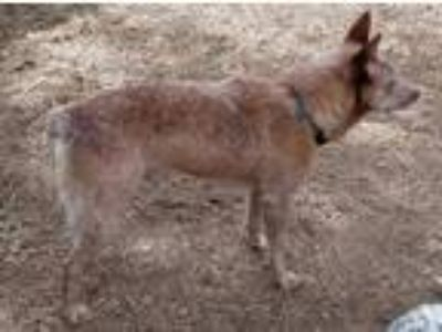 Adopt Hopper a Red/Golden/Orange/Chestnut - with White Australian Cattle Dog /