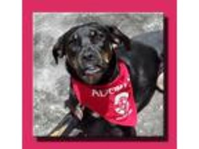 Adopt Jade *MEET ME AT AA!* a Black - with Tan, Yellow or Fawn Boxer / Hound