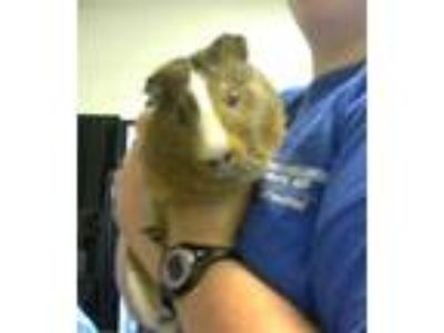 Adopt a Brown or Chocolate Guinea Pig / Mixed small animal in Fayetteville