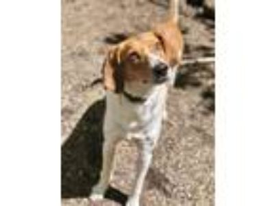 Adopt Fred Bladen a Tan/Yellow/Fawn - with White Beagle / Hound (Unknown Type) /