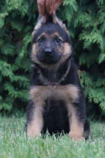German Shepherd Dog PUPPY FOR SALE ADN-89373 - Amazing AKC German  Shepherd Puppies