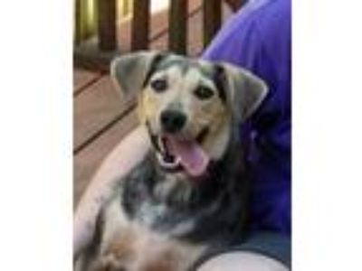 Adopt Dolly a Black - with Tan, Yellow or Fawn Shepherd (Unknown Type) / Mixed