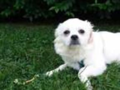 Adopt RYE a White Pekingese / Mixed dog in Brewster, MA (25875469)
