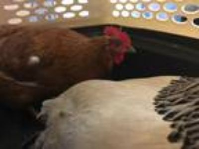 Adopt KATYA* a Brown Chicken / Mixed bird in Santa Cruz, CA (25556609)