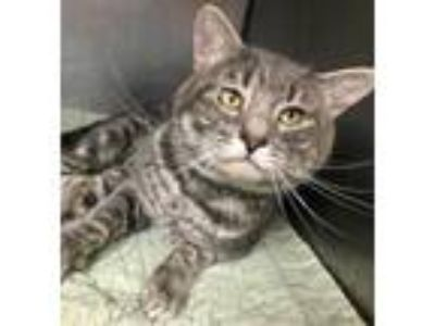 Adopt Brisket a Gray or Blue Domestic Shorthair / Domestic Shorthair / Mixed cat