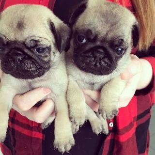 Beautiful pug puppies for forever homes