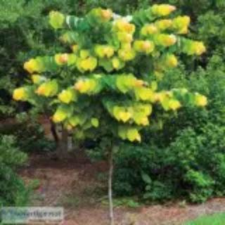 Rising Sun Redbud Trees