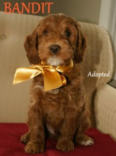 Australian Labradoodle PUPPY FOR SALE ADN-45905 - Australian Labradoodle  All Puppies Adopted