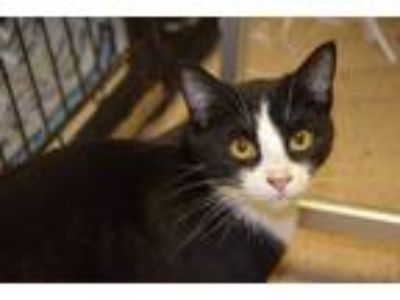 Adopt Poe a Black & White or Tuxedo Domestic Shorthair (short coat) cat in